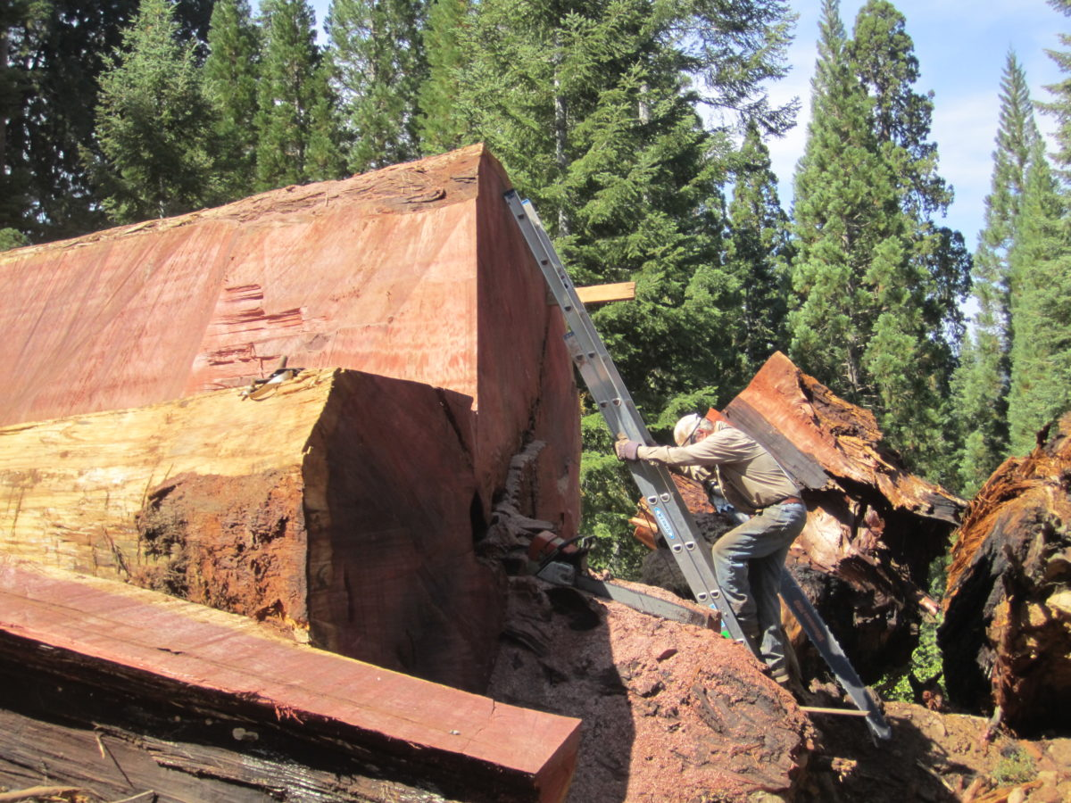 Giant Sequoia Redwood Windfall being salvaged