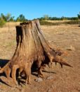 Cedar Stump Art, CJE1362