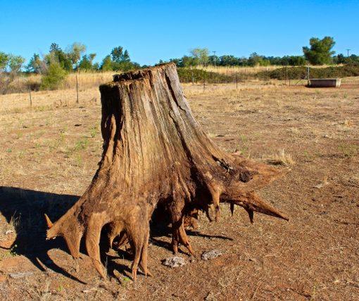 Cedar Stump Art, CJE1362