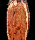Pecan Slab with Burl Cluster, DC093015-2