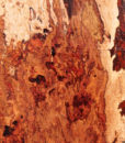 Pecan Blank with Burl Cluster, DC093015-4